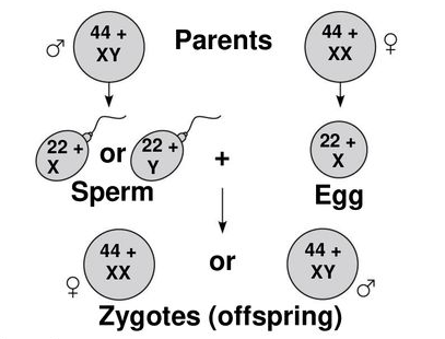 Sex Determination : Heredity and Evolution Class 10 Notes