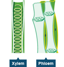 Life Processes Class 10 Notes Science Chapter 6 : Xylem and Phloem