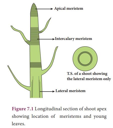 Meristematic tissue